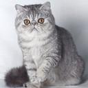 Elena cattery *Daione Sidhe*